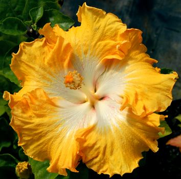 """Exotic hibiscus 'Lion's Mane' blooms with large 7-9"""" ruffly single yellow flowers with a large bright white eye. The flower has a heavy text..."""