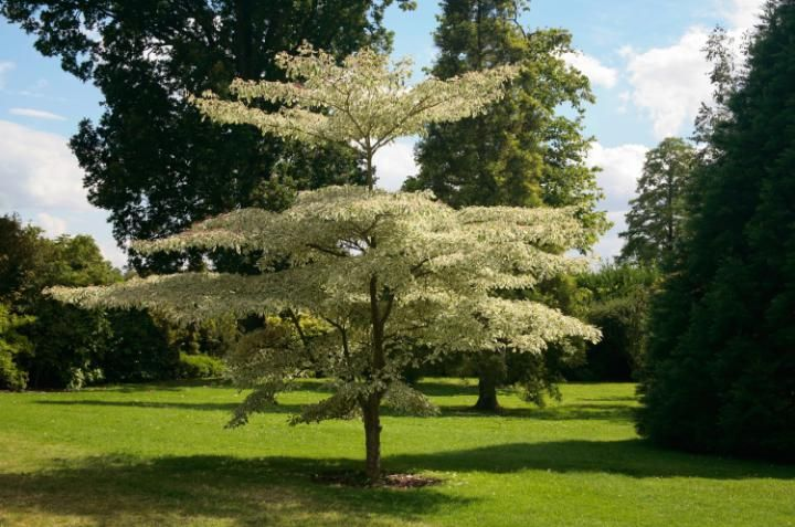 Wedding Cake Tree: Dogwood, Cornus controversa 'Variegata' from the How to Grow board