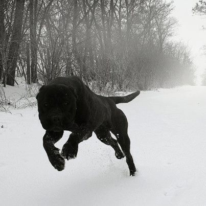all black pitbull/dogo