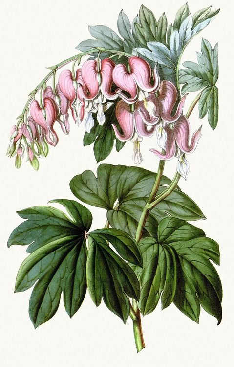 Bleeding Heart :: Lamprocapnos spectabilis (syn. dicentra spectabilis ).  From Flore des Serres et des Jardins de l'Europe (Flowers of the Greenhouses and Gardens of Europe) vol. 3, by Charles Lemaire, Michael Scheidweiler, and Louis van Houtte, Ghent, 1847