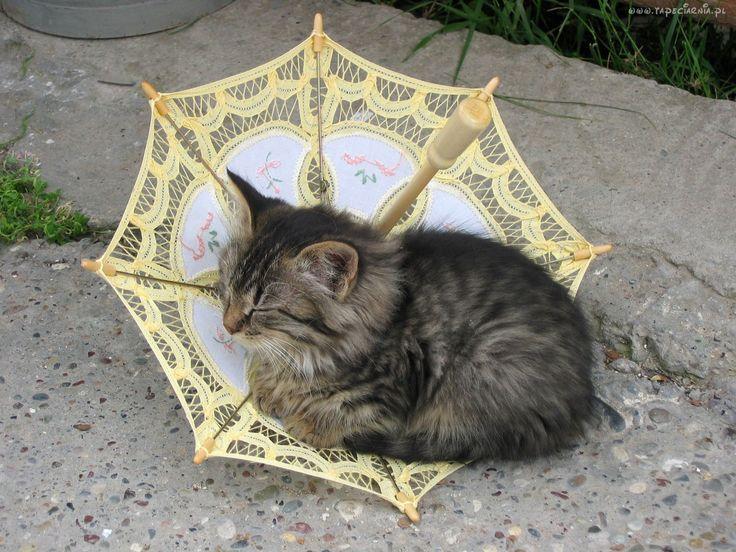 Parasol, Kot
