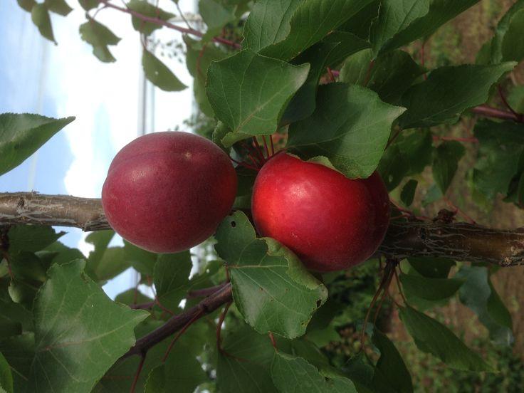 """""""rubistas"""" apricot by Markovitis Estate"""