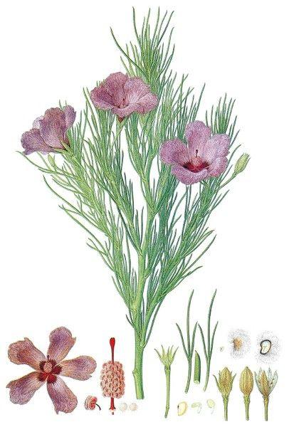 Algoyne hakeifolia:  watercolor by Ferdinand Bauer ~ Natural History Museum, London