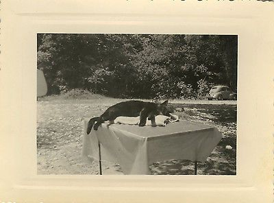 Photo Ancienne - Vintage Snapshot - Chat Repos Sieste Camping DrôLe - Cat Funny