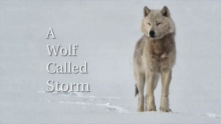 A wolf called Storm and his pack survive in the Canadian Wilderness (Video)