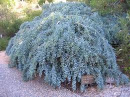 Acacia baileyana prostrate Cootamundra Wattle prostrate0.3 - 0.5m x 4 - 4m