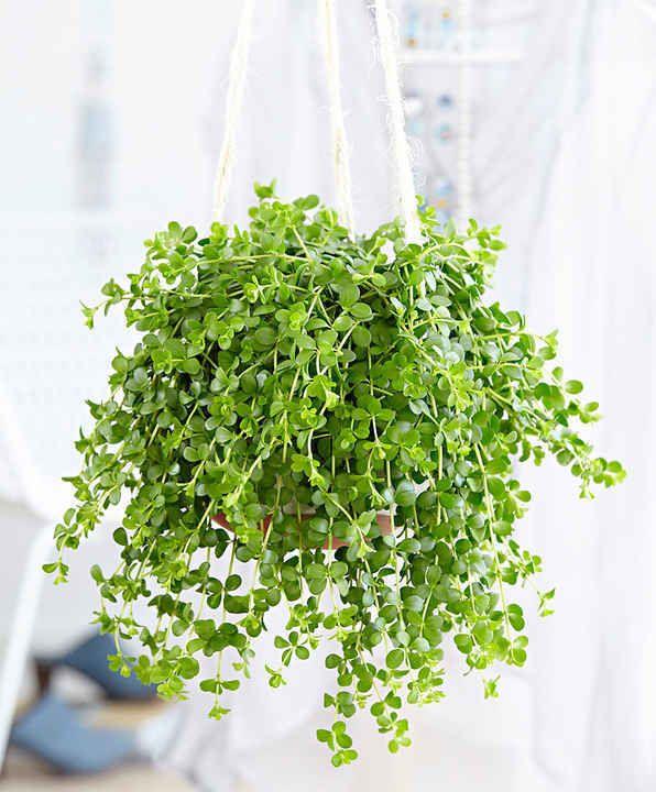 10 Plantes Retombantes d'Intérieur Indispensables à la Maison  Plante retombante 'Isabelle'