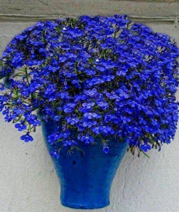 All things blue, a beautiful pot of lobelias!                              …
