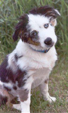 Cute miniature Australian shepherd pup! I want this pup after I get my Nova Scotia Duck Tolling Retiever! <3