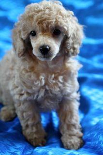 Poodle Puppies for Sale, Red Poodle, Miniature poodles, Toy Poodles