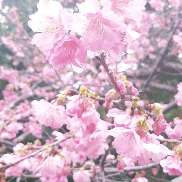 【yosie0619】さんのInstagramをピンしています。 《今日も北部ドライブ #桜#サクラ#寒緋桜#大宜味村塩屋》