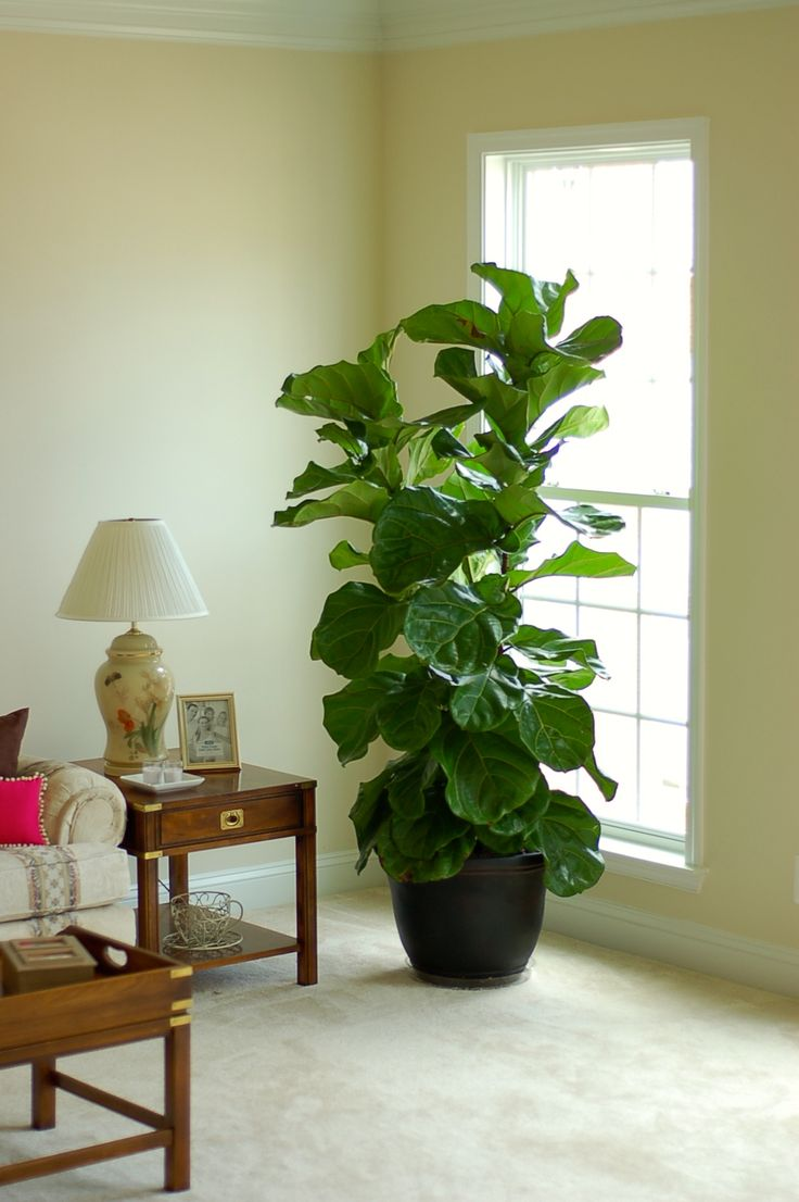 32 best Fiddle Leaf Fig images on Pinterest | House plants, Fiddle ...