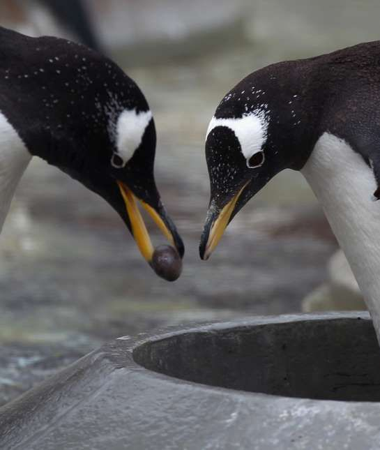 """Penguins The male of some penguin species, like the gentoo and adelie penguins, presents the female with a """"perfect pebble"""" as a part of their courtship. He spends hours searching to find the right one and fights other males for it. He then presents it to his chosen female, and she adds it to the nest if she accepts the gift. This """"pebble proposal"""" finds penguins their lifetime mates, as many species are monogamous."""