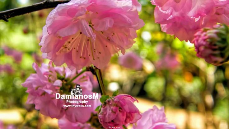 Double Flowering Plum Prunus Triloba