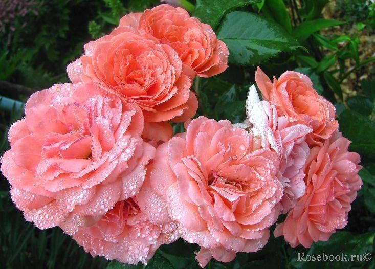 роза Amelia Renaissance: 5 тыс изображений найдено в Яндекс.Картинках