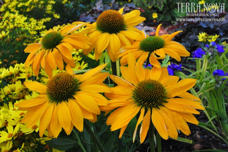"""Echinacea 'Leilani' - 'Leilani' glows with its clear, yellow flowers that bloom from summer to fall. The name """"Leilani"""" is well suited to this elegant plant as it means """"royal child of heaven."""" It has a strongly upright habit that doesn't require any staking. Use en masse for the border, in a mixed bed, and as a cut flower.: Gardens Ideas, Coneflow Echinacea, Yellow Flowers, Cones Flowers, Daisies, Echinacea Leilani, Leilani Coneflow, Cut Flowers, Gardens Plants"""