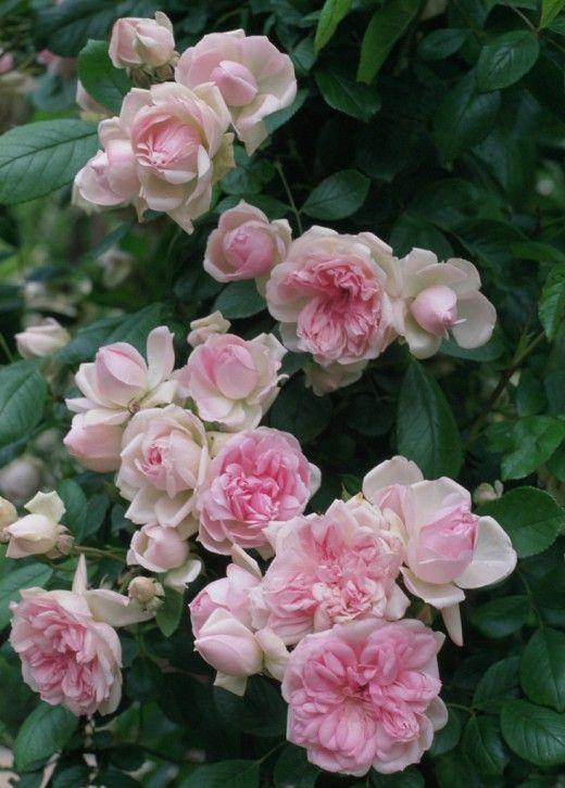 Роза флорибунда. Благодаря своим достоинствам (продолжительная декоративность, обилие окрасок и ароматических оттенков, великолепное качество цветков у некоторых современных сортов, неприхотливость, высокая зимостойкость) розы группы Флорибунда очень популярны. Фото: © A. Barra