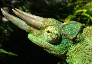 Jacksons Chameleon Eye