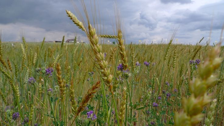 Biologische landbouw is een goede manier om de snelgroeiende wereldbevolking te voeden, zelfs als de opbrengst lager is dan bij conventionele landbouw. Dat stellen onderzoekers van de Washington State University in deVerenigdeStaten.
