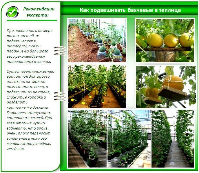 Выращивание арбузов и дынь в теплице
