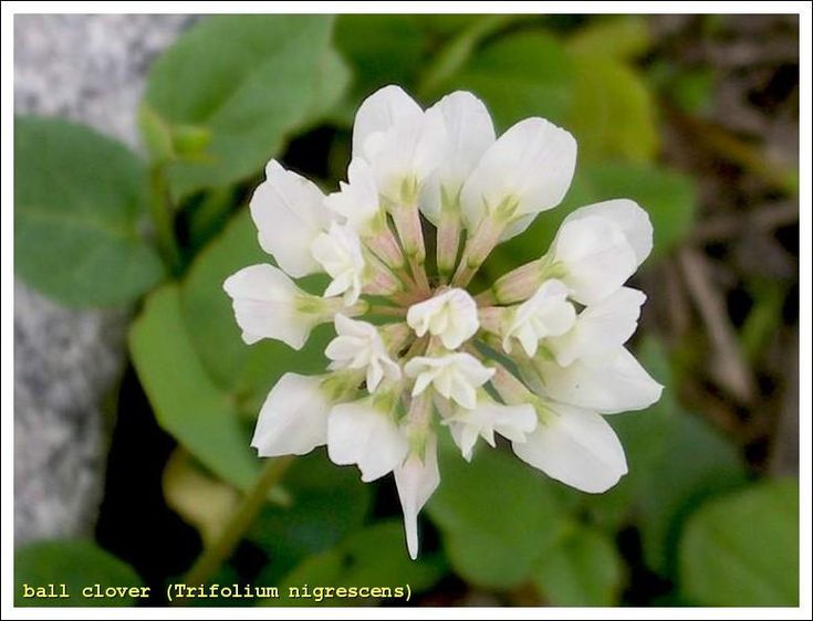 Ball Clover Seed | Everywhere we have flowers to attract honey bees, who show a preference for this flower.