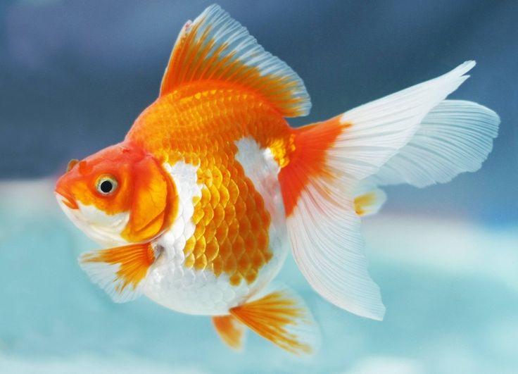 ryukin goldfish | pemeliharaan ikan mas koki