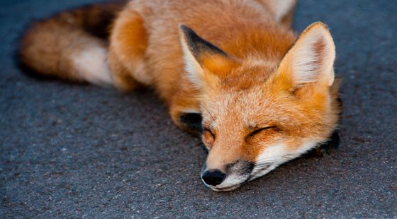 Contented fox along Cavendish by ryan_maclean