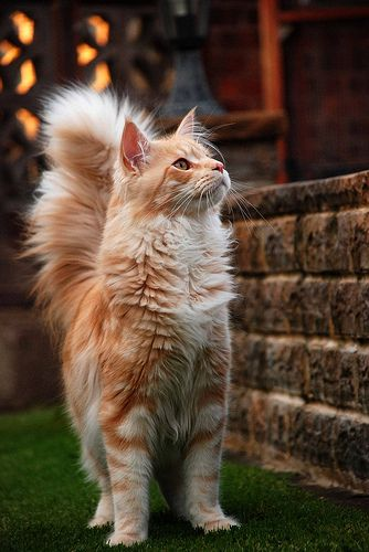 Orange Tabby Maine Coon....we need one of these to live at our house!
