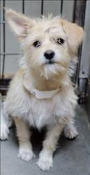 Cairn Terrier fem X (young) is an adoptable Cairn Terrier Dog in San Jacinto, CA. This little cutie-patuty came to us as a stray and no one came to claim her.  So now, she's hoping to get a 2 nd chan...