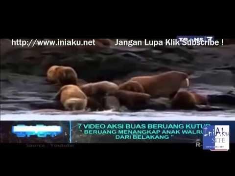 7 Aksi Buas Beruang Kutub On The Spot Terbaru Trans 7