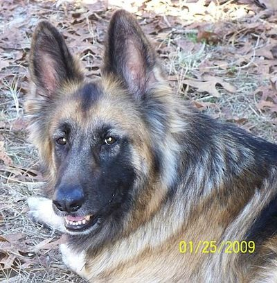German Shepherds are one of the smartest and most trainable breeds.