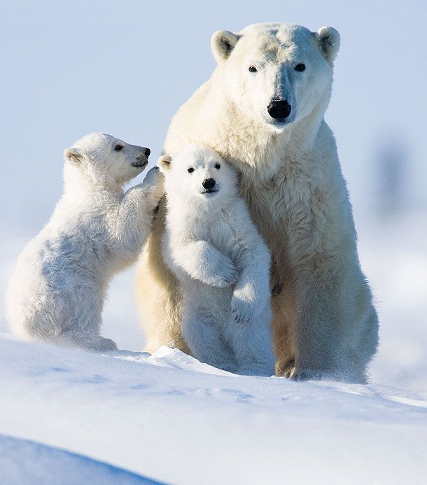 Hey Mom, those people are taking pictures of us.    #animals #polarbear #cute