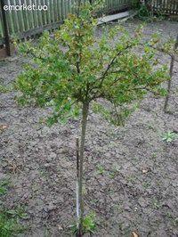 Деревцем сформировать можно не только смородину, но и крыжовник