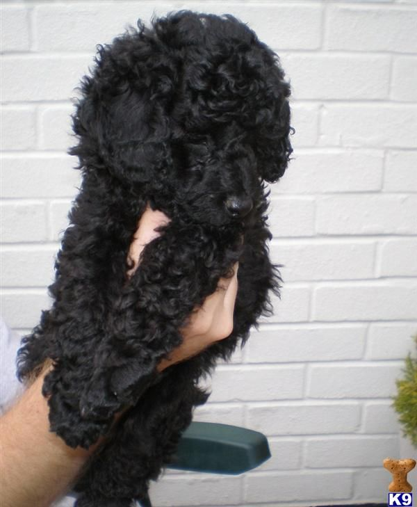 black poodle puppy! Aww