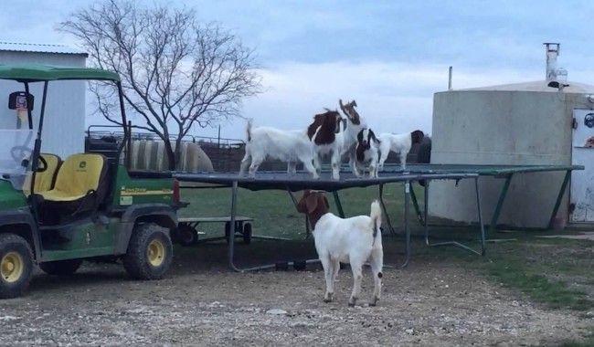 [VIDEO] Des chèvres qui sautent sur un trampoline tout simplement