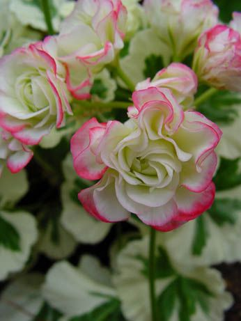 Geranium 'Westdale Appleblossom' Pelargonium - Wow , there are so many lovely colours of geraniums!