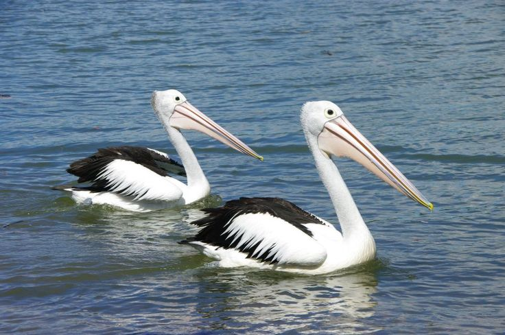 Who if not a pelican?