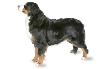 Bernese Mountain Dog information including pictures, training, behavior, and care of Bernese Mountain Dogs and dog breed mixes.