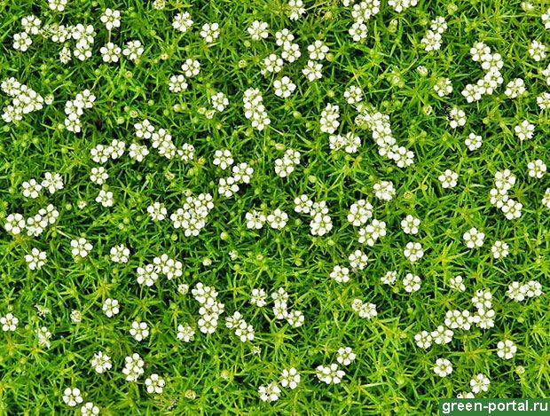Мшанка шиловидная, или ирландский мох