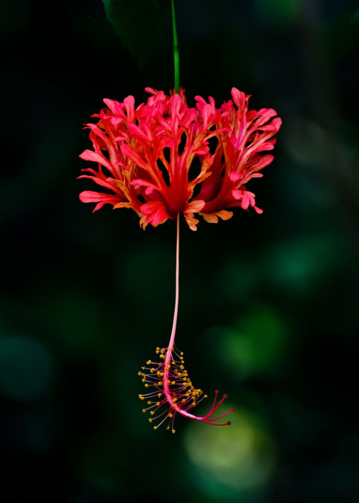 best  hibiscus schizopetalus ideas on   exotic, Beautiful flower