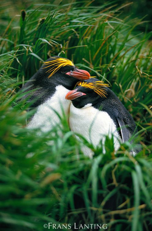 Macaroni penguin couple, Eudyptes chyrsolophus, South Georgia Island