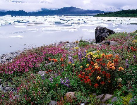 Picture of colorful flowers growing wild near Russell Fjord,  Tongass National Forest, Alaska.