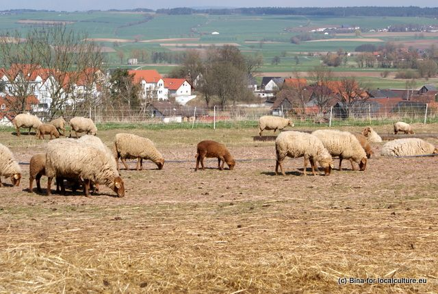 Coburg Fox Sheep in front of the houses of #Beiersdorf near #Coburg in #Franconia