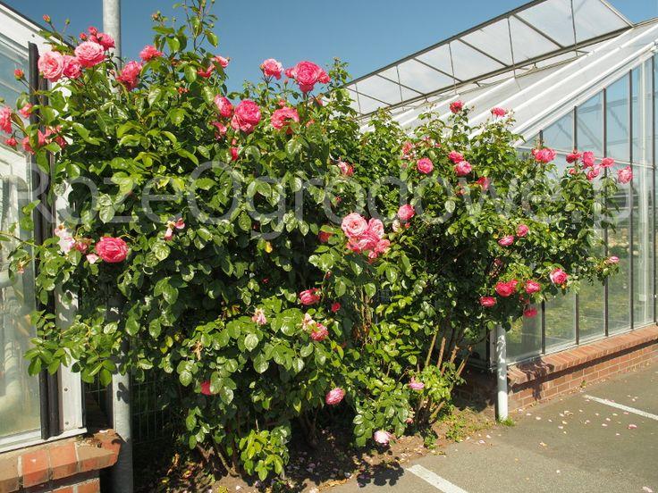 Róża pnąca ROSANNA