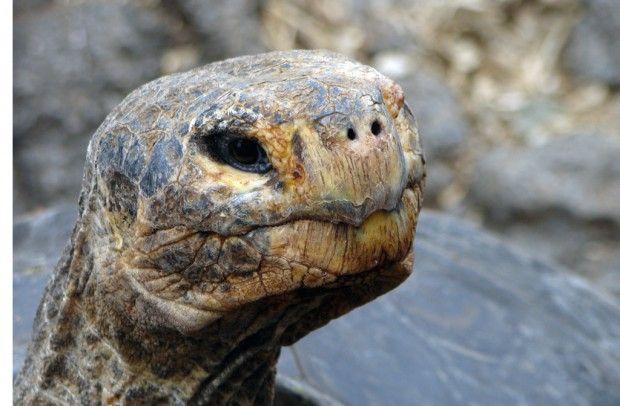 Capítulo 17 da série Galápagos: Ilhas Encantadas A ALMA E O CORAÇÃO DE GALÁPAGOS As tartarugas-gigantes prosperavam no arquipélago, mas sofreram com piratas que as caçavam por sua carne e com espécies introduzidas que competiam por sua comida. A população Leia mais »