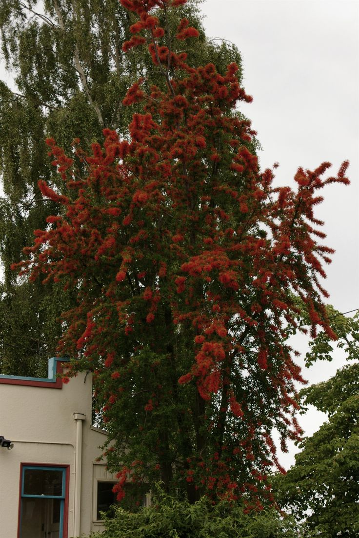Embothrium coccineum or Chilean fire tree - cool narrow tree for the side of your house