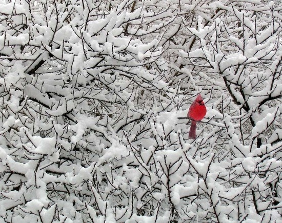 Peace.: Christmas Cards, Real Life, Color, Amazing Natural, Snow, Ohio States, Photo, Branches, Cardinals