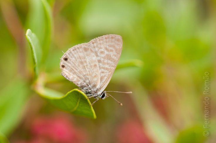 Espécie de borboleta da família Lycaenidae, comum em Portugal. Barão de São João, Lagos. Outubro 2014 ISO 200Abertura: f/11Velocidade de obturação: 1/160 seg.Compensação da exposição: +0.7Distância...