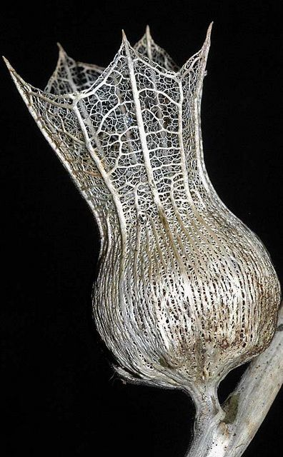 "expecttheunexpectedtoday:  expecttheunexpectedtoday ""Skeletonised Henbane Seed Head"" by Phillip Gates #botany"
