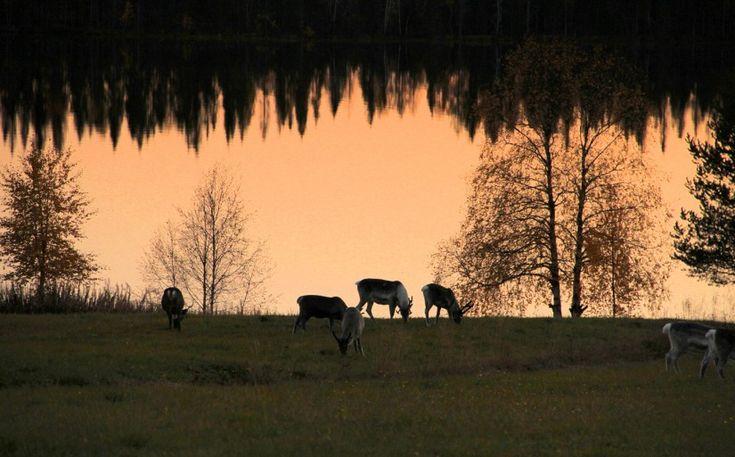 Reindeer grazing in Pello in Lapland, Finland